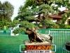 bonsai-exhibit-2012-13