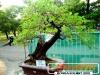 bonsai-exhibit-2012-18