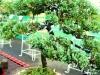 bonsai-exhibit-2012-7