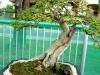 bonsai-exhibit-2012-9