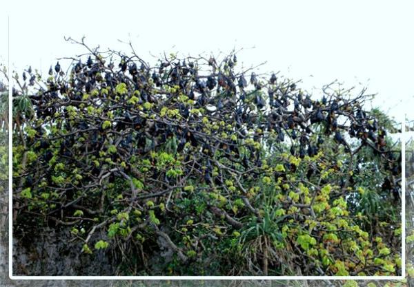 Hundred-Islands-Bats