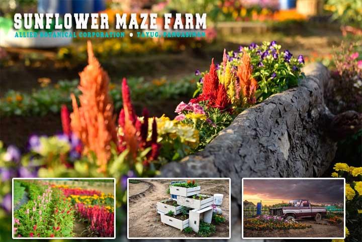 Sunflower Maze Farm Allied Botanical Corp In Tayug Pangasinan